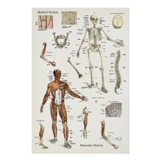 Human Skeletal and Muscle Anatomy Poster 24 X 36