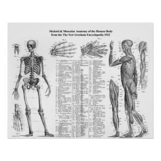 Human Skeletal & Muscular Anatomy from 1922 Poster