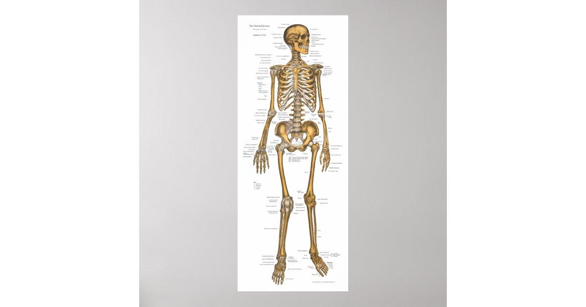 Human Skeletal System Anatomy Chart 24 X 60 Zazzle