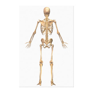 Human Skeletal System, Back View Gallery Wrapped Canvas