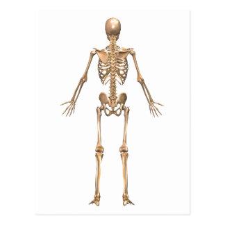 Human Skeletal System, Back View Postcard