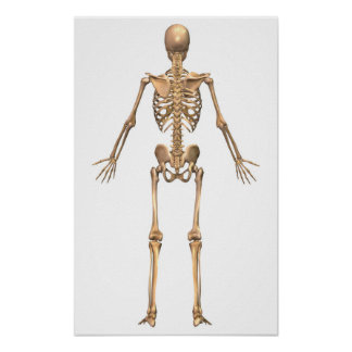 Human Skeletal System, Back View Poster