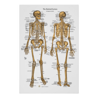 Human Skeletal System Chart w/ Ligaments, Tendons Print