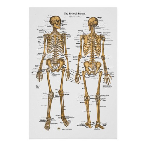 Human Skeletal System Chart w/ Ligaments, Tendons Print