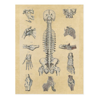 Human Skeletal System Illustrated Postcard