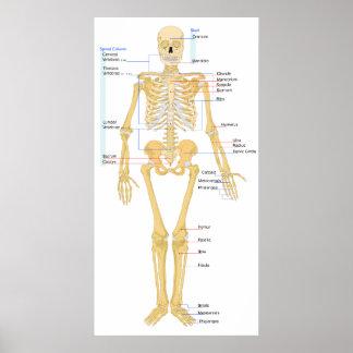Human Skeleton Front Poster