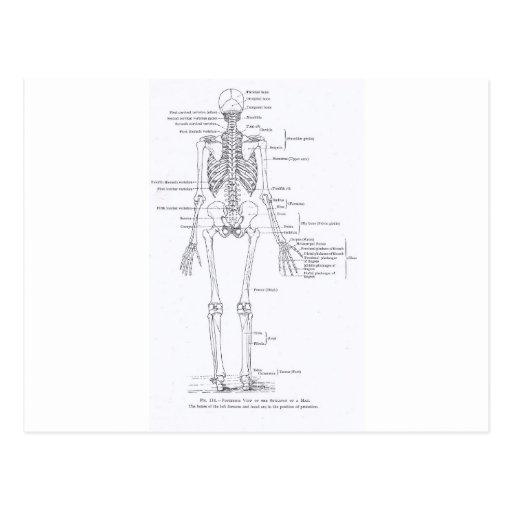 Human skeleton, full frontal view, postcard