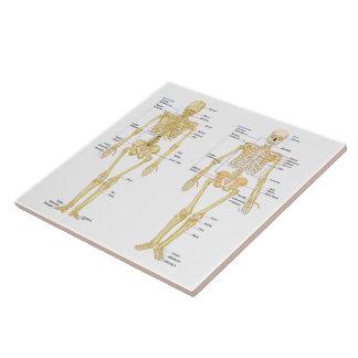 Human Skeleton labeled anatomy chart Ceramic Tile