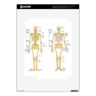 Human Skeleton labeled anatomy chart iPad 3 Decals