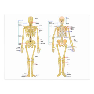 Human Skeleton labeled anatomy chart Postcard