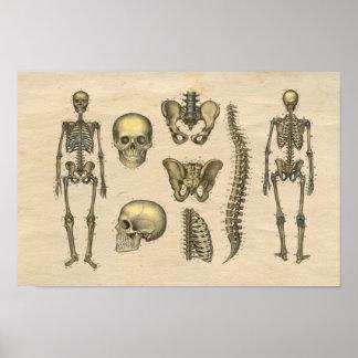 Human Skeleton Skull Spine Anatomy 1841 Print