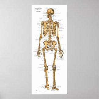 Human Skeleton System Anatomy Chart Poster