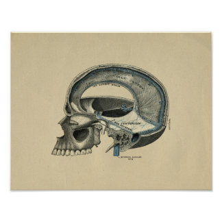 Human Skull Anatomy 1902 Vintage Print