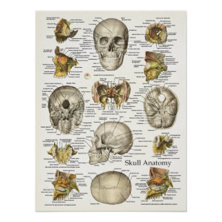 Human Skull Anatomy Poster 18 X 24