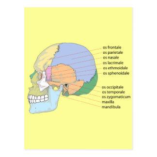 Human Skull Bone Name Chart Postcard