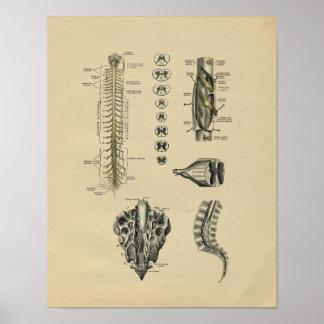 Human Spinal Nerves Anatomy 1902 Vintage Print
