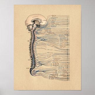 Human Spinal Nerves Anatomy Vintage Print