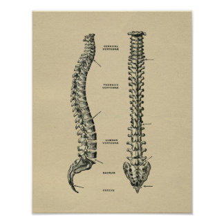 Human Spine Anatomy 1902 Vintage Print