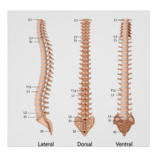 Human spine anatomy, labeled print. poster