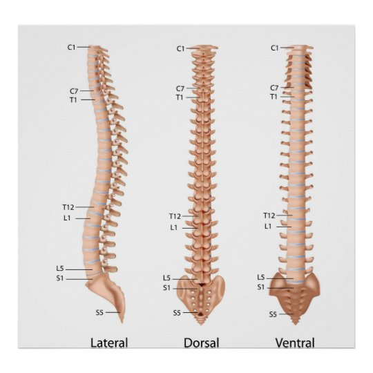 Human spine anatomy, labeled print. poster   Zazzle.com