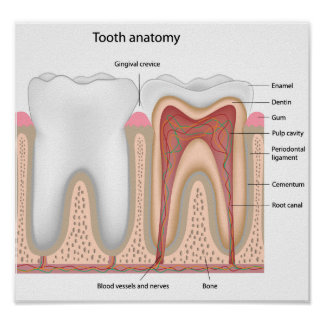 Human Tooth anatomy   Poster