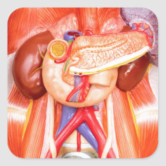 Human torso model with organs square sticker