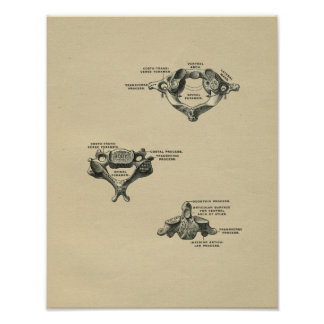 Human Vertebrae Anatomy 1902 Vintage Print