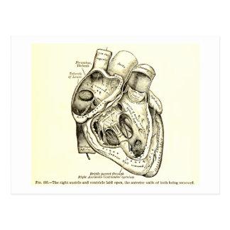 Human Vintage Anatomy Heart Illustration Postcard