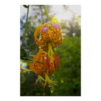 Humboldt Lily Poster