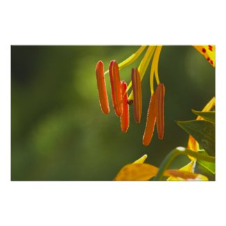 Humboldt Lily Stamens Poster