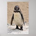 Humboldt Penguin Impresiones