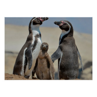 Humboldt Penguin Parents and Chick Poster