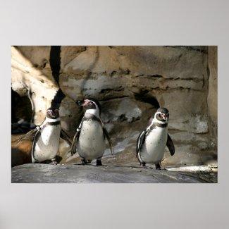 Humboldt Penguin Posters