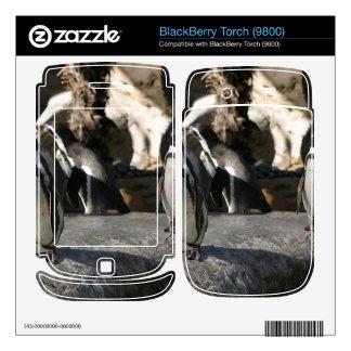 Humboldt Penguin Decal For BlackBerry