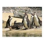 Humboldt Penguins Postcard