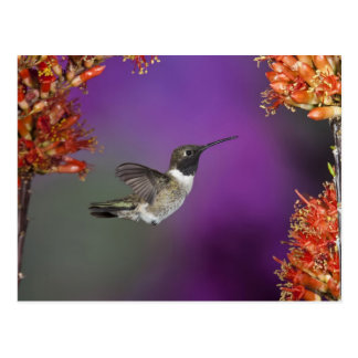 Humingbird Negro-chinned, alexandri del Archilochu Postales