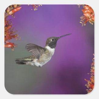 Humingbird Negro-chinned, alexandri del Pegatina Cuadrada