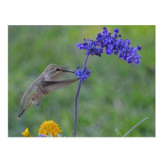 hummer feeding on purple flower postcard