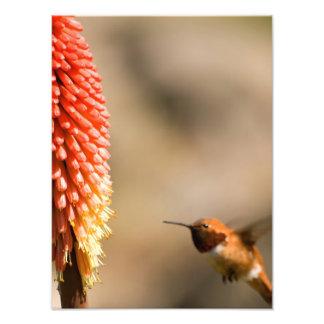 Humminbird and Red Hot Poker Flower Photographic Print