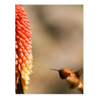 Humminbird and Red  Hot Poker Flower Postcard