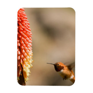 Humminbird and Red  Hot Poker Flower Magnet