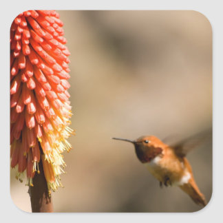 Humminbird and Red  Hot Poker Flower Square Sticker