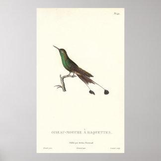 Humminbird verde Largo-atado de la impresión antig Póster