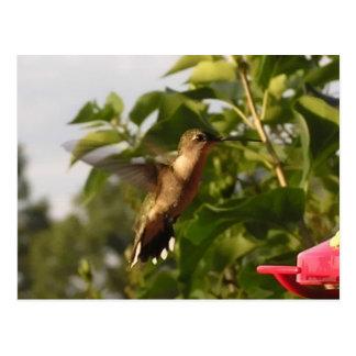 Humming Bird 1 Postcards