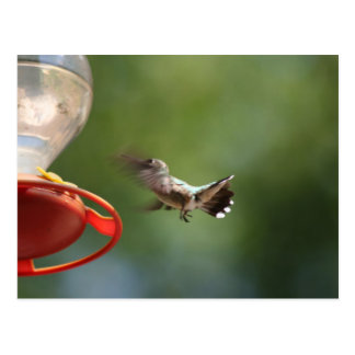 Humming Bird in flight Postcard