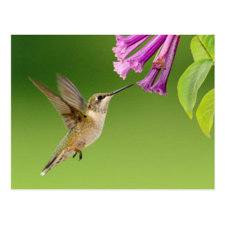 Humming bird purple flower pretty photo Postcard