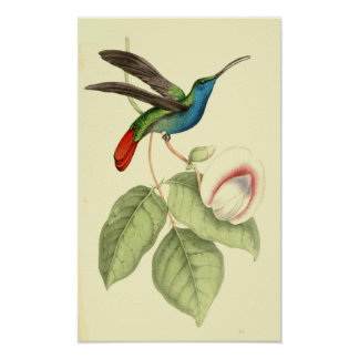 Humming Bird (Sickle-Winged) Poster