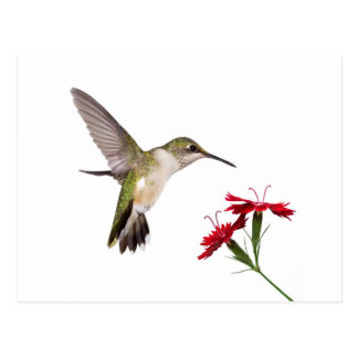 Hummingbird and a Red Dianthus Postcard