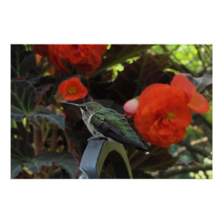 Hummingbird and Begonias Posters