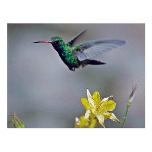 Hummingbird and columbine Red flowers Postcard